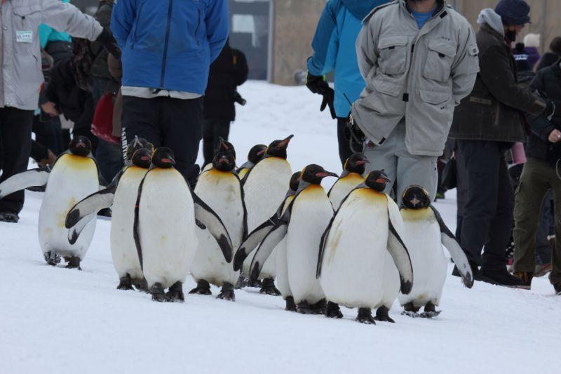 北海道旭川旭山動物園企鵝散步