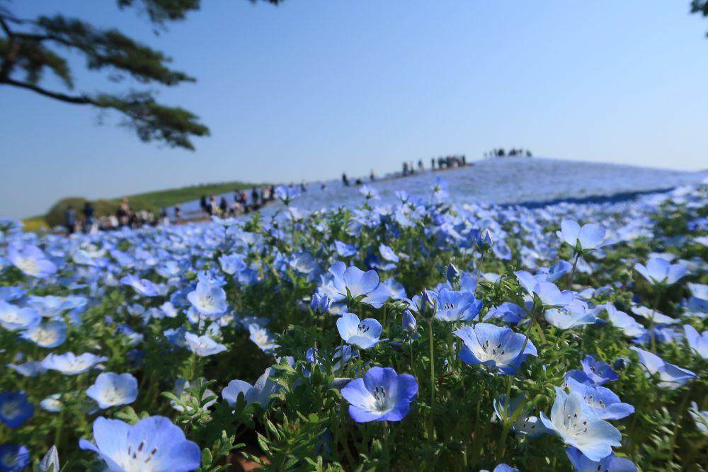 一大片的粉蝶花海美景讓人目不轉睛