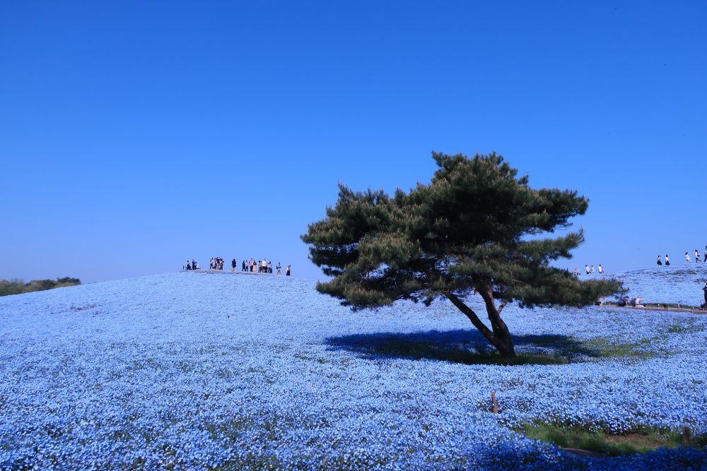 國營常陸海濱公園粉藍花朵盛開宛如仙境