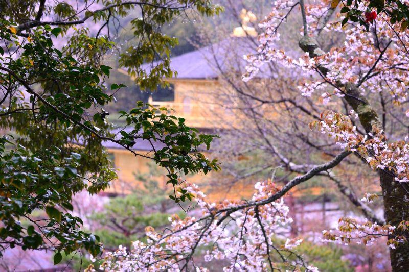 春天的金閣寺與櫻花
