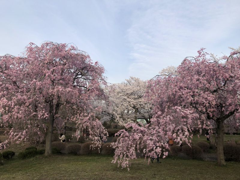 秩父羊山公園 垂枝櫻 八重櫻