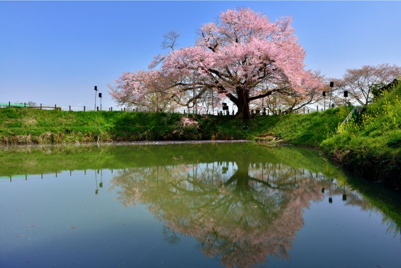 福岡舞鶴公園的櫻花