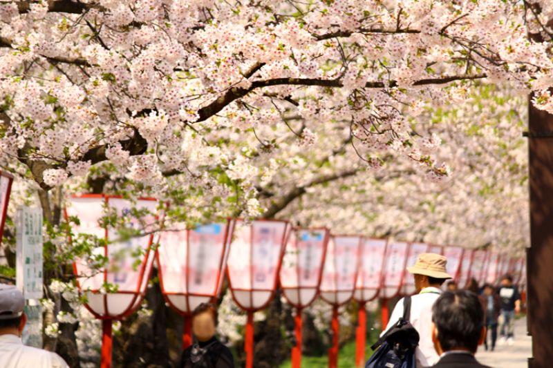 弘前公園的櫻花