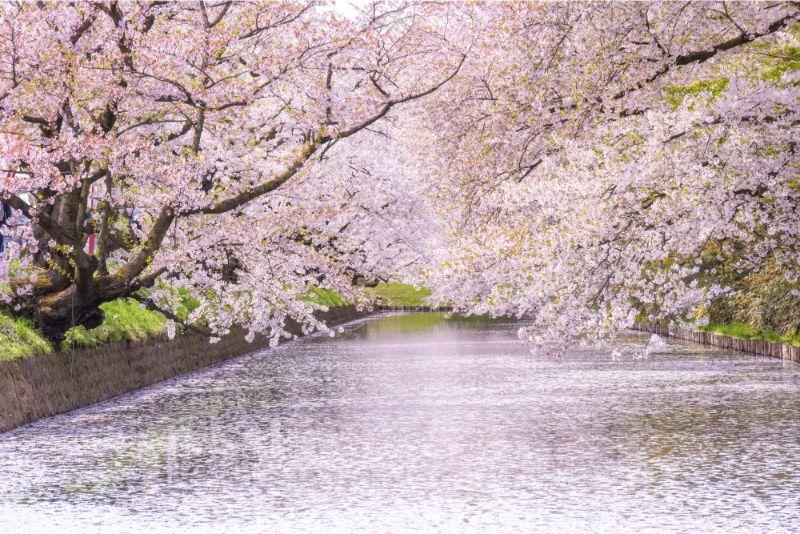 弘前公園櫻花