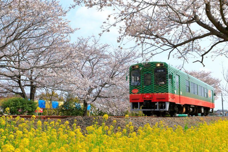 櫻花與電車