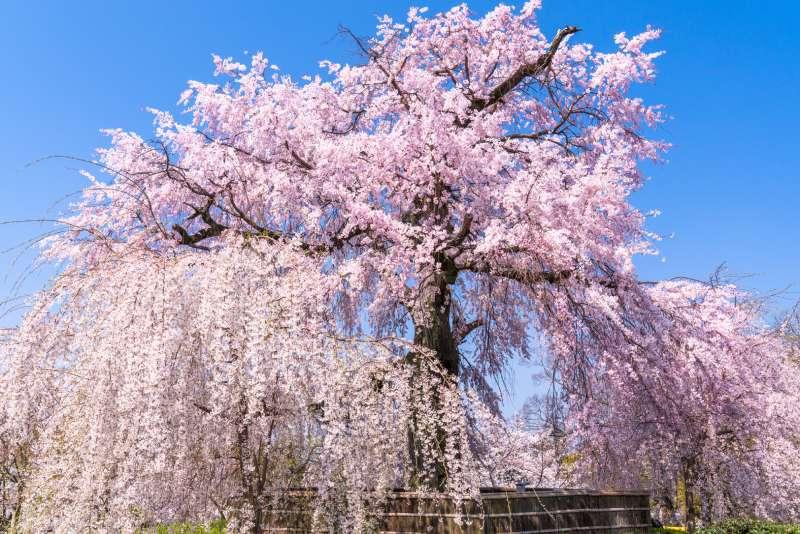 圓山公園的枝垂櫻
