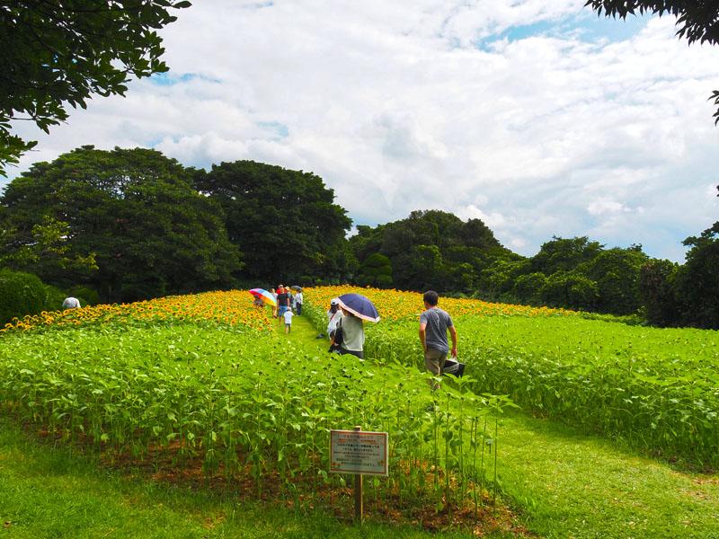 能古島海島公園的向日葵花田
