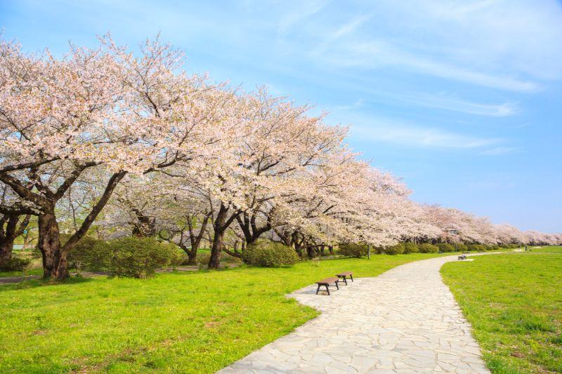 北上展勝地的夾道櫻樹
