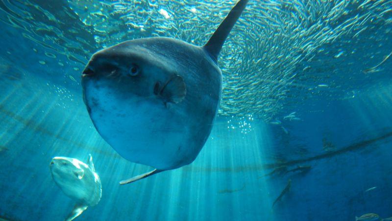 八景島的曼波魚