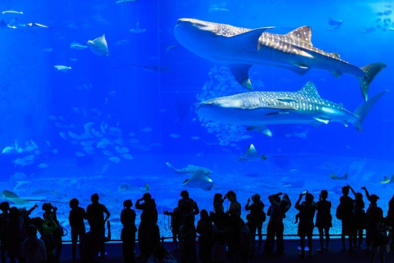 美麗海水族館的鯨鯊