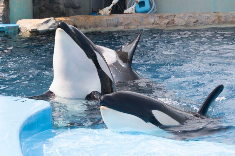 名古屋港水族館的虎鯨