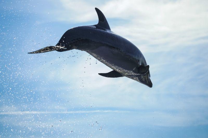 空中優游的海豚