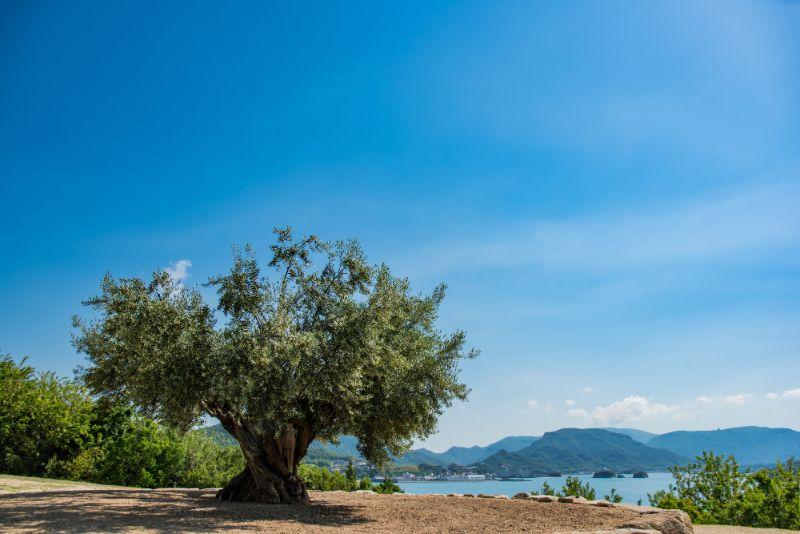 小豆島的橄欖樹