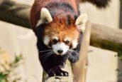 福岡市動物園的小熊貓