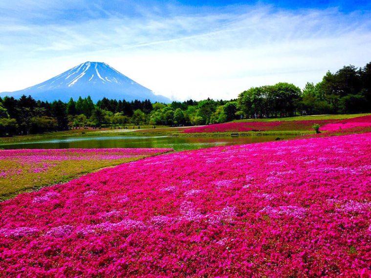 芝櫻與富士山