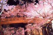 高遠的櫻雲橋