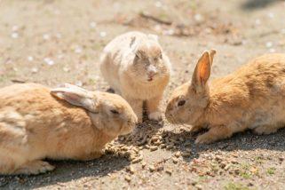 大久野島的兔子