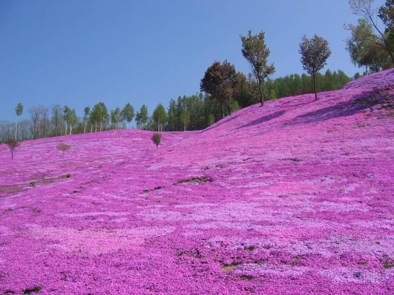 瀧上公園的芝櫻