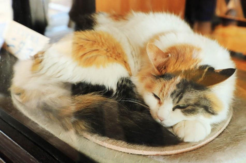 讓貓迷與鐵道迷都融化!前往「和歌山電鐵貴志川線」探訪貓站長