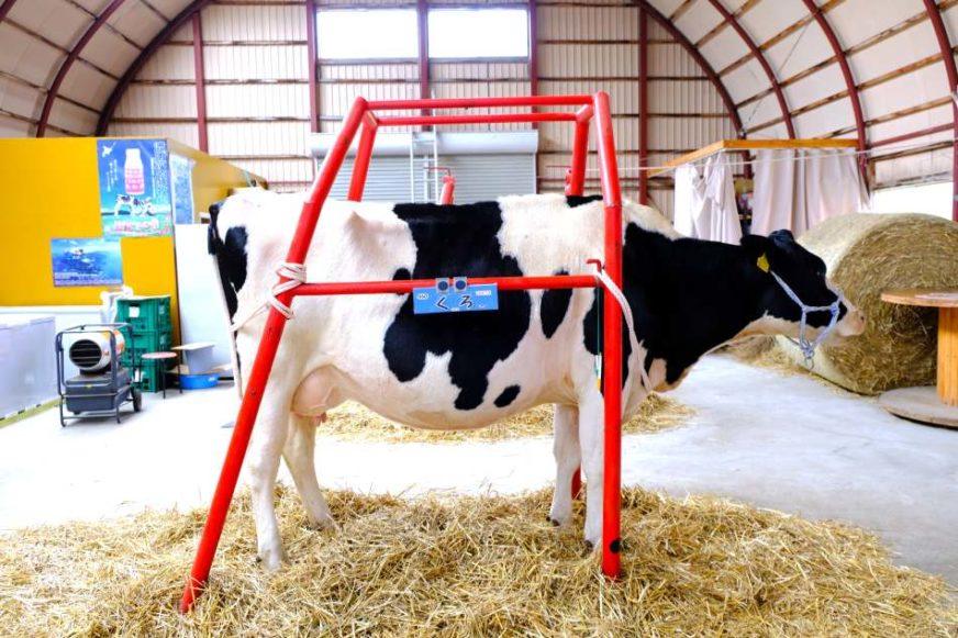 北海道渡邊體驗牧場的乳牛