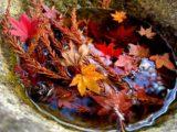 水面上的楓葉