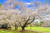 砧公園的櫻花