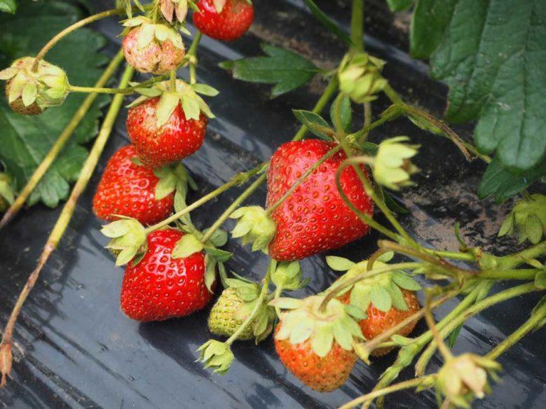 北海道草莓園