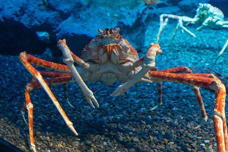 甘氏巨螯蟹